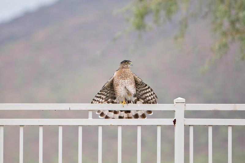 coopers hawk-3264