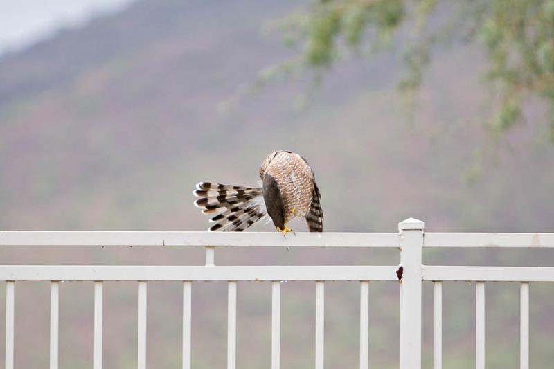 coopers hawk-3236