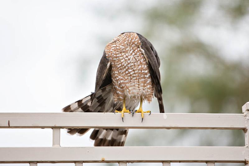 coopers hawk-3848