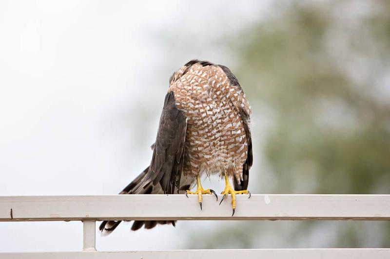 coopers hawk-3946