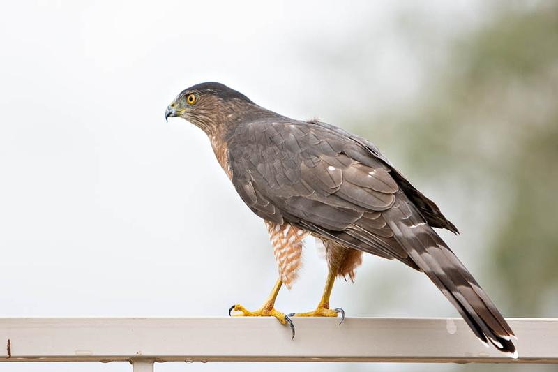 coopers hawk-3977