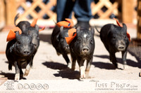 Wild West Days 2015 Pig Races WEB SHARING